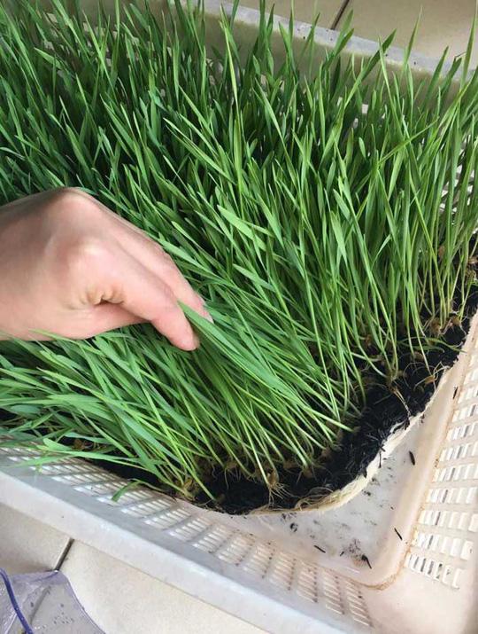 Đua nhau trồng lúa mì trong nhà - Ảnh 5.