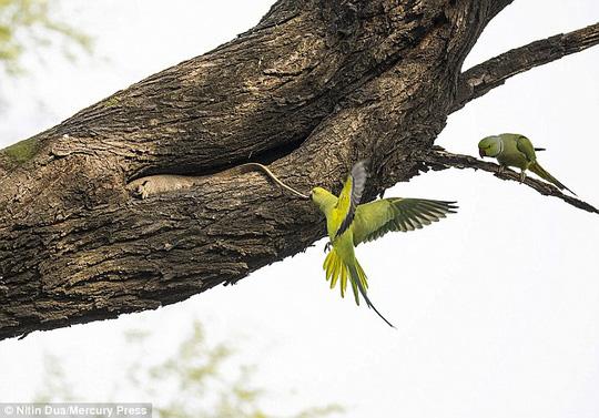 Xúc động tình mẫu tử của loài chim vẹt đuôi dài - Ảnh 5.