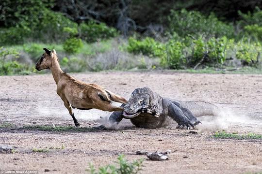 Chùm ảnh rồng Komodo tấn công con mồi - Ảnh 5.