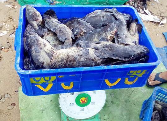 """Hàng chục tấn tôm hùm, cá mú, cá bớp… """"rẻ như cho"""" - Ảnh 5."""