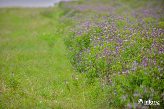 Thực hư cánh đồng hoa Lavender ở ngoại ô Hà Nội - Ảnh 5.