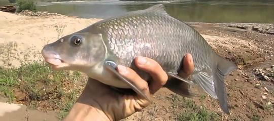 Những loài cá tiến vua đắt đỏ nhưng vẫn được săn lùng - Ảnh 5.