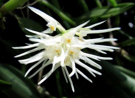 Chiêm ngưỡng hoa phong lan rừng Sa Pa - Ảnh 5.