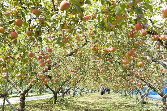 Đột nhập vườn táo Aomori Nhật Bản đã có bán ở Việt Nam - Ảnh 5.