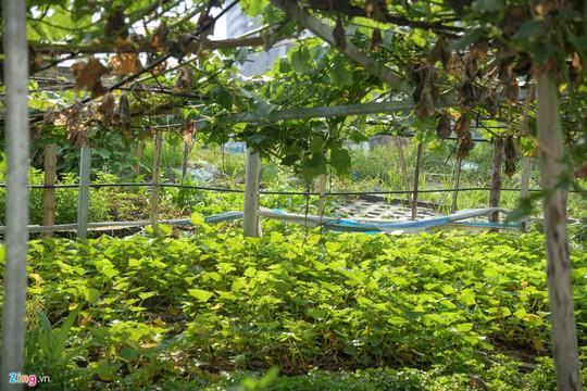 Kiểu trồng rau có 1 không 2 của người Hà Nội - Ảnh 6.