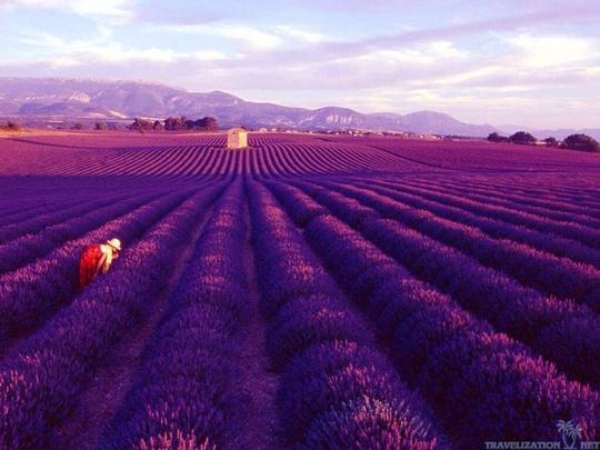 Thiên đường oải hương tràn sắc tím giữa lòng Provence - Ảnh 7.