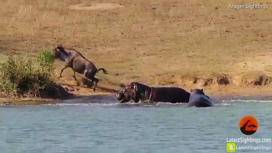 Hà mã cứu linh dương thoát khỏi cá sấu - Ảnh 7.