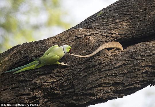 Xúc động tình mẫu tử của loài chim vẹt đuôi dài - Ảnh 6.