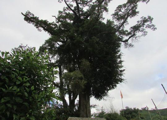 Đi tìm cây sa mu ngàn tuổi dưới dãy Hoàng Liên Sơn - Ảnh 2.