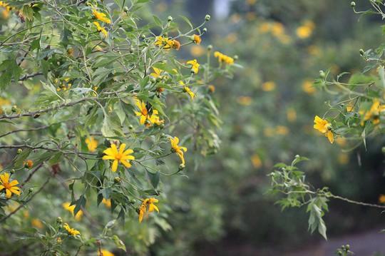 Đẹp nao lòng rừng hoa dã quỳ dưới chân núi Tản - Ảnh 6.