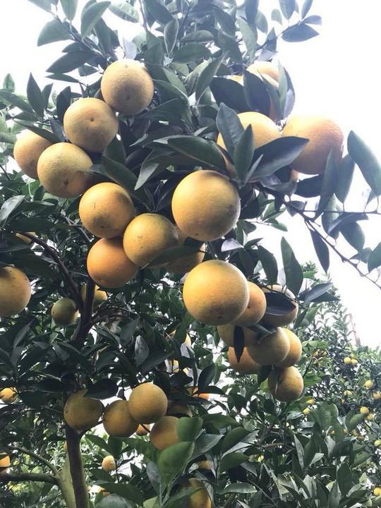 Siêu độc: Cây cam Vinh có 1.000 quả - Ảnh 6.
