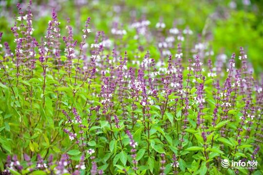 Thực hư cánh đồng hoa Lavender ở ngoại ô Hà Nội - Ảnh 6.