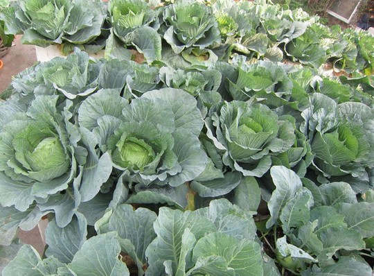 Khoai tây, bắp cải dày đặc trên mái nhà ở Hà Nội - Ảnh 6.