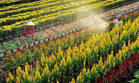 Làng hoa lớn nhất Nam bộ Sa Đéc tất bật vào mùa Tết - Ảnh 6.