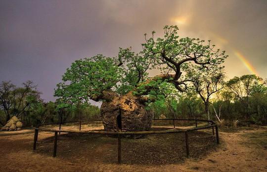 Ngắm những thân cây độc lạ trên thế giới - Ảnh 6.