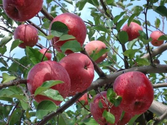 Đột nhập vườn táo Aomori Nhật Bản đã có bán ở Việt Nam - Ảnh 6.