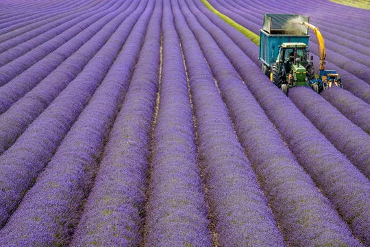 Thiên đường oải hương tràn sắc tím giữa lòng Provence - Ảnh 8.