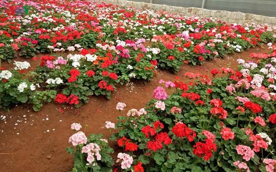 Ngắm ngàn hoa đua sắc tại làng hoa nổi tiếng ở Đà Lạt - Ảnh 7.