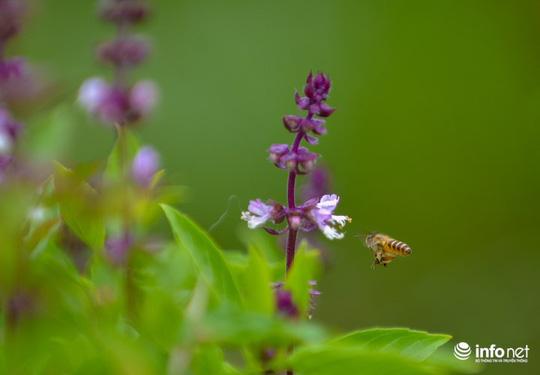 Thực hư cánh đồng hoa Lavender ở ngoại ô Hà Nội - Ảnh 7.