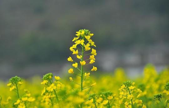 Đi chụp ảnh thôi, hoa cải đã nở vàng rực rỡ rồi kìa! - Ảnh 7.