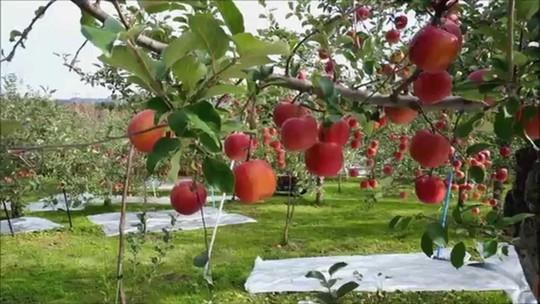 Đột nhập vườn táo Aomori Nhật Bản đã có bán ở Việt Nam - Ảnh 7.