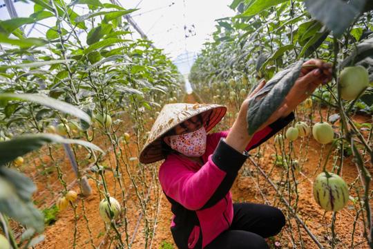 Gần Tết, anh Định cho người lặt lá dưa để kích thích trái tăng trưởng to, ra nhiều.