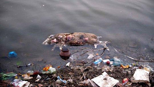 Xác động vật trôi nổi trên sông Hằng là chuyện bình thường. Ảnh: AGENCY GENESIS