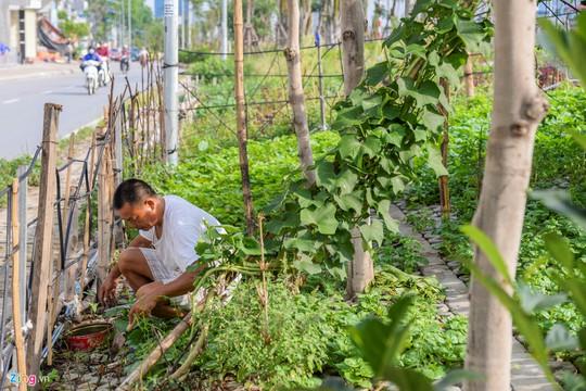Kiểu trồng rau có 1 không 2 của người Hà Nội - Ảnh 8.