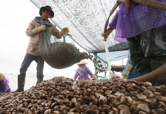 Cận cảnh bắt hàng trăm tấn ngao ở biển Tiền Hải - Ảnh 8.