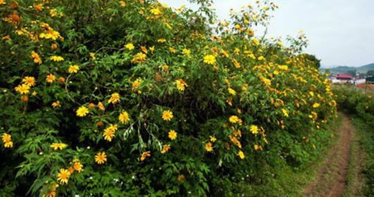 Mê mẩn những cung đường hoa dã quỳ đẹp nhất Việt Nam - Ảnh 8.