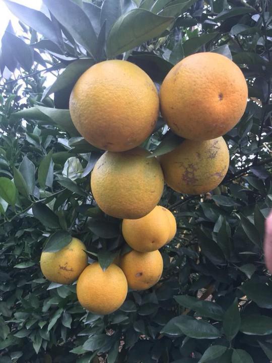 Siêu độc: Cây cam Vinh có 1.000 quả - Ảnh 8.