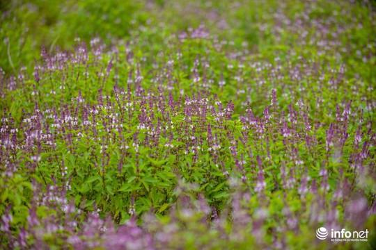 Thực hư cánh đồng hoa Lavender ở ngoại ô Hà Nội - Ảnh 8.