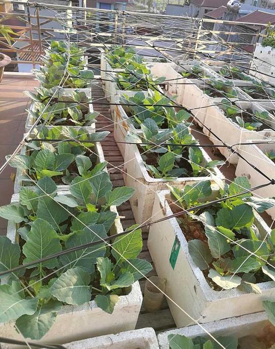 Khoai tây, bắp cải dày đặc trên mái nhà ở Hà Nội - Ảnh 8.