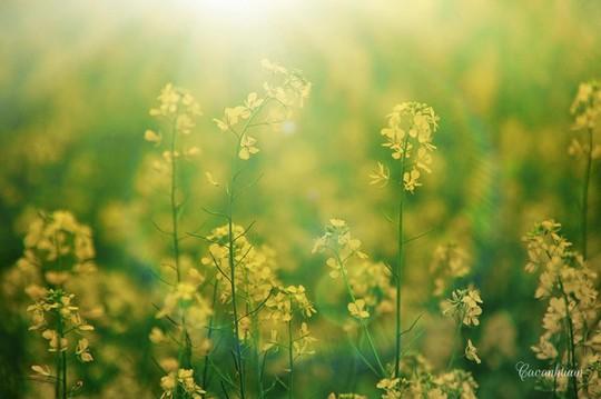 Đi chụp ảnh thôi, hoa cải đã nở vàng rực rỡ rồi kìa! - Ảnh 8.