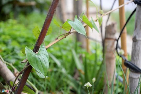 Kiểu trồng rau có 1 không 2 của người Hà Nội - Ảnh 9.