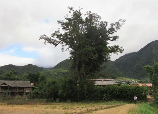 Đi tìm cây sa mu ngàn tuổi dưới dãy Hoàng Liên Sơn - Ảnh 3.