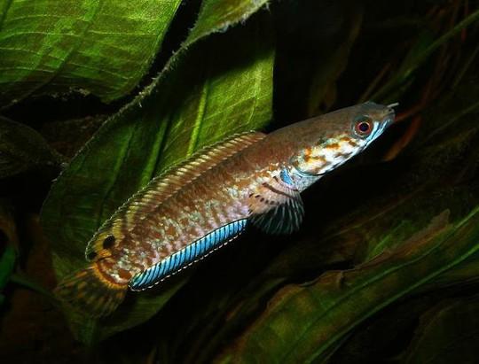 Những loài cá tiến vua đắt đỏ nhưng vẫn được săn lùng - Ảnh 9.