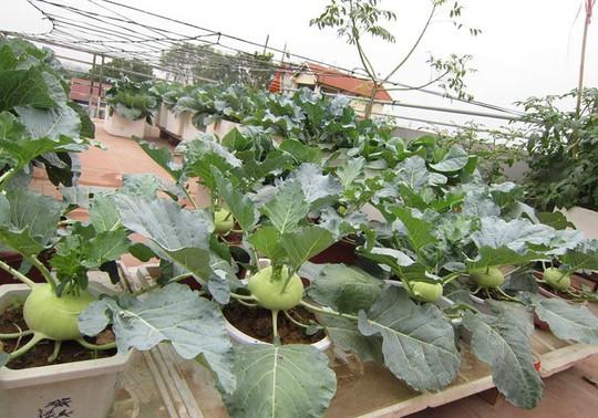 Khoai tây, bắp cải dày đặc trên mái nhà ở Hà Nội - Ảnh 9.