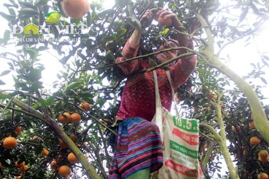 Bà Chảo Sử Mẩy năm nay đã 52 tuổi nhưng vẫn có thể đánh đu trên những ngọn cây cam sành cao 6 – 8m để hái cam thuê.