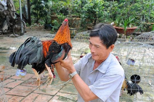 Còn ông Võ Văn Tám ở xã Đông Bình, TX Bình Minh – Vĩnh Long ngoài việc trồng dừa và cam mật còn thả nuôi 100 gà đá, mỗi tháng xuất bán 10-15 con kiếm lời trên 12 triệu đồng
