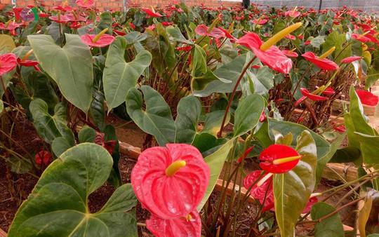 Ngắm ngàn hoa đua sắc tại làng hoa nổi tiếng ở Đà Lạt - Ảnh 10.