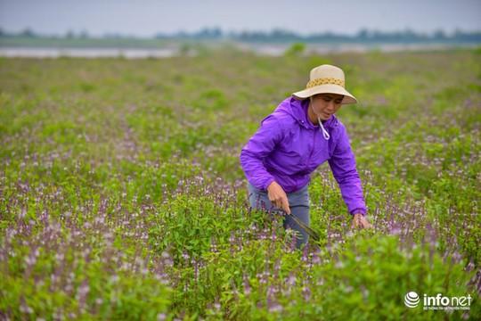 Thực hư cánh đồng hoa Lavender ở ngoại ô Hà Nội - Ảnh 10.