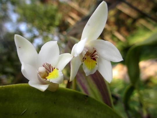 Chiêm ngưỡng hoa phong lan rừng Sa Pa - Ảnh 10.