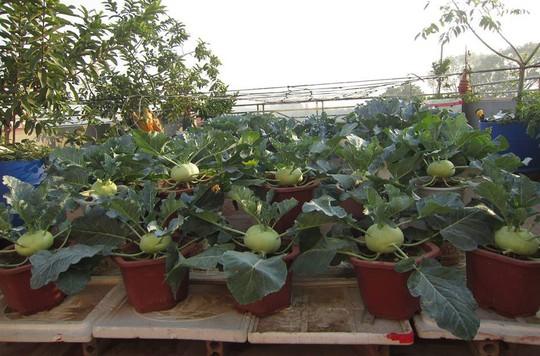Khoai tây, bắp cải dày đặc trên mái nhà ở Hà Nội - Ảnh 10.