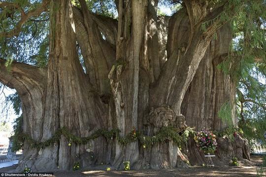 Ngắm những thân cây độc lạ trên thế giới - Ảnh 10.