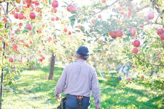 Đột nhập vườn táo Aomori Nhật Bản đã có bán ở Việt Nam - Ảnh 10.
