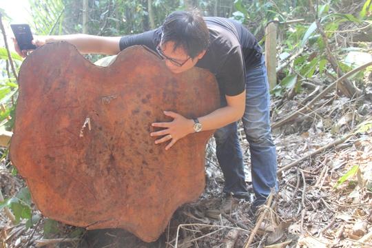 Cây gỗ quý ở khu vực núi Chóp Nón bị lâm tặc chặt hạ