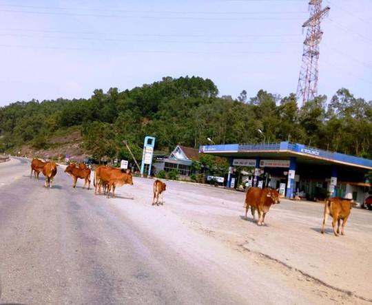 Bắt giam 30 con bò nghênh ngang trên quốc lộ - Ảnh 2.