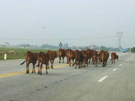 Bắt giam 30 con bò nghênh ngang trên quốc lộ - Ảnh 1.