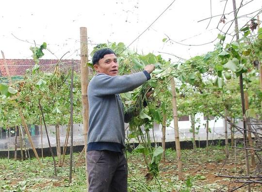 Su su chỉ còn 300 đồng/kg, ông Hồ Ngọc Tô quyết định phá giàn để trồng loại cây khác có giá trị kinh tế hơn.